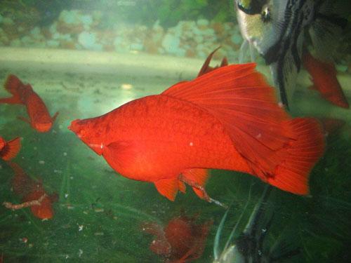 美丽的红剑鱼怎么分公母图片