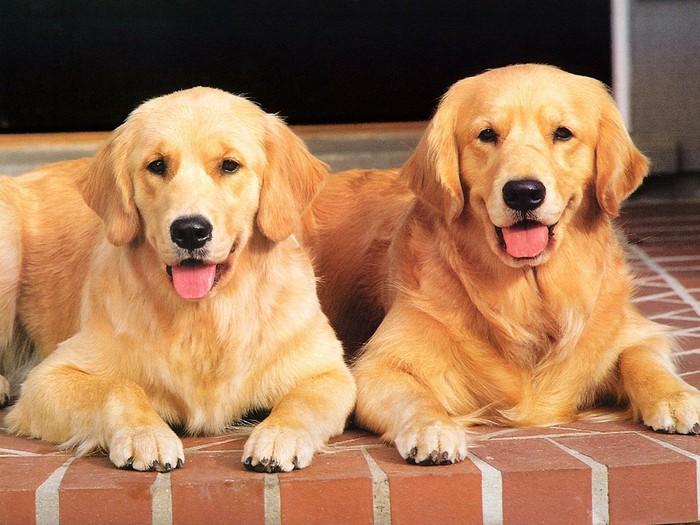 拉布拉多犬和金毛犬哪个好图片