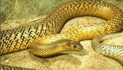 以小型爬行类和小型哺乳动物为食